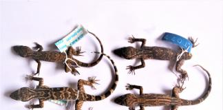 Cicak Jari Lengkung (Foto : Lembaga Ilmu Pengetahuan Indonesia)